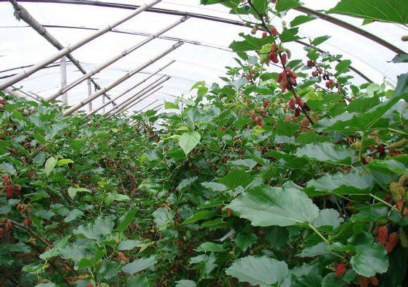 温室果桑种植技术