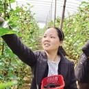 大棚种植果桑