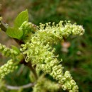 果桑树开花结果期管理