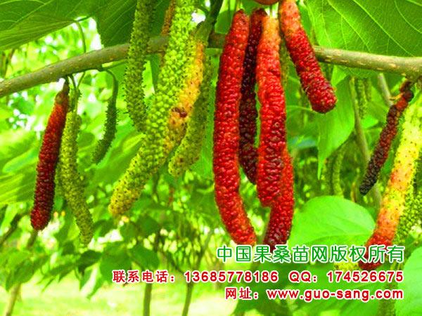 台湾超级长果桑的种植技术