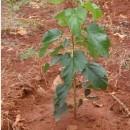 果桑苗幼龄树的管理