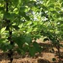 果桑树整形修剪的原则