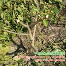 新种一年的果桑,进行夏季修剪